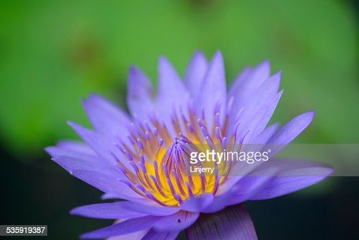 lotus in water : Stock Photo