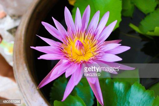 lotus it : Stock Photo