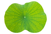 lotus leaf on isolated white in close up for background, texture
