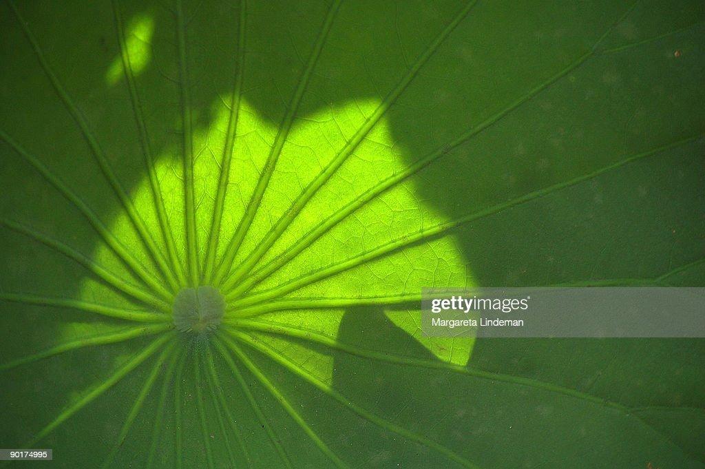 lotus leaf umbrella : Stock Photo