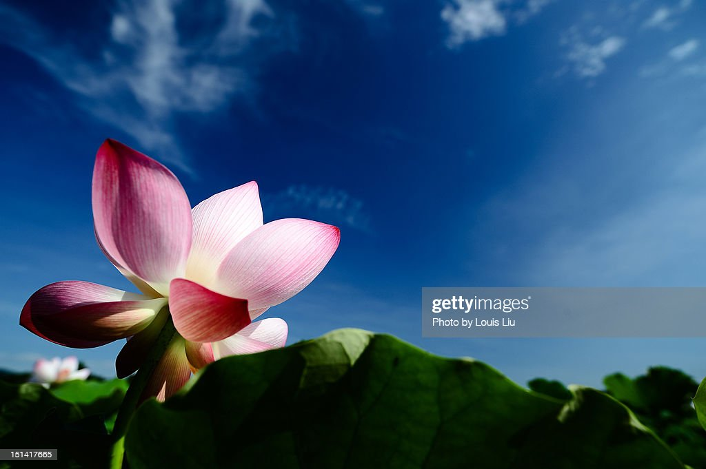 Lotus : Stock Photo
