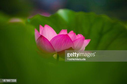 Lotus : Stock Photo