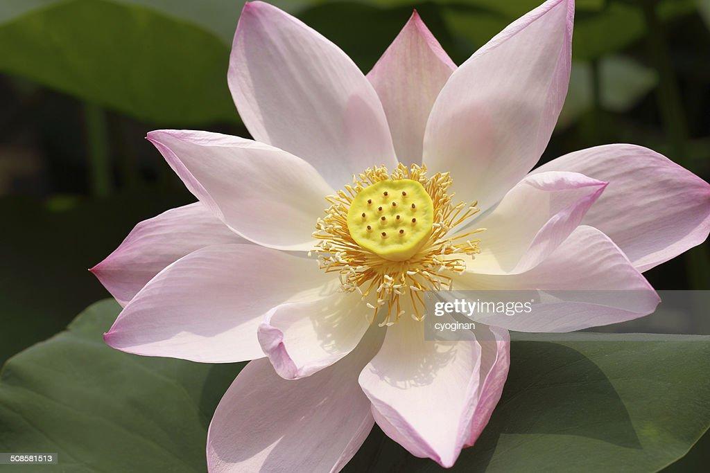 Lotus : Stockfoto