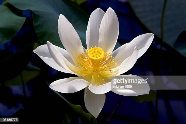 """Lotus """""""