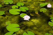 Lotus water lilies and lily pads on surface of pond
