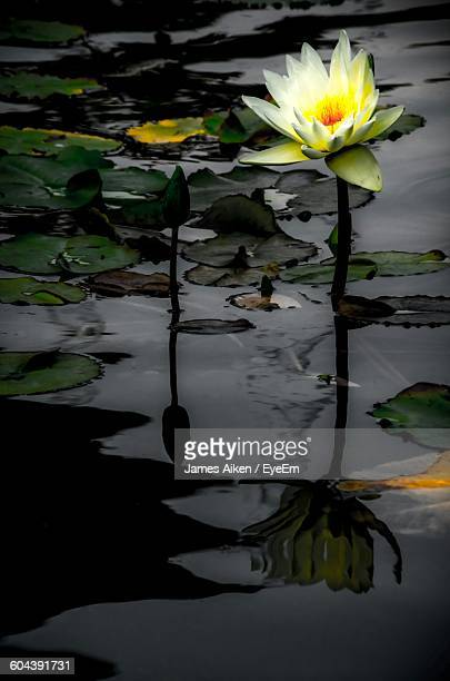 Lotus Water Lily Blooming In Pond At Dusk