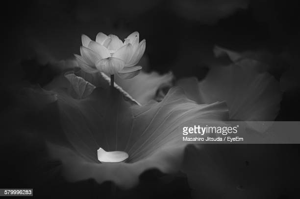 Lotus Water Lily Blooming In Pond At Night