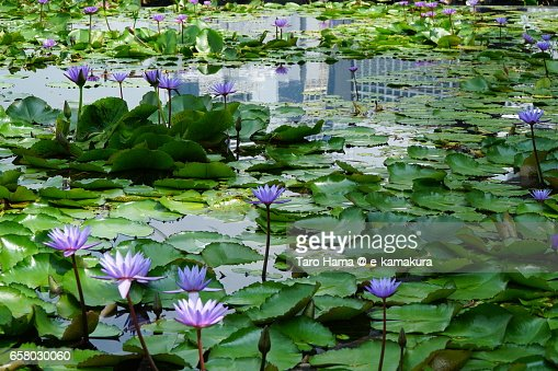 Lotus water lily in the center of city in Singapore : ストックフォト