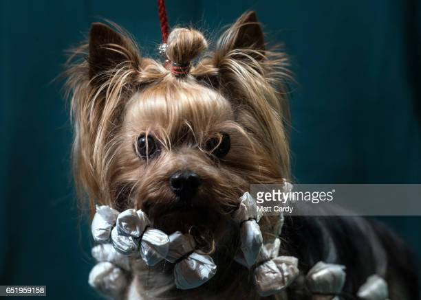 Louis a twoyearold Yorkshire Terrier dog poses for a photograph on the second day of Crufts Dog Show at the NEC Arena on March 10 2017 in Birmingham...
