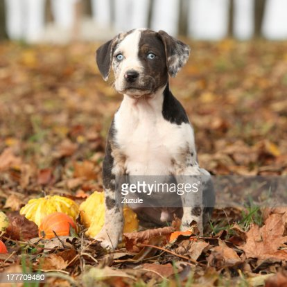Louisiana Catahoula puppy with pumpkins in Autumn : Stock Photo
