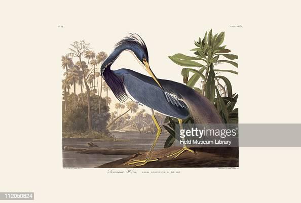 Louisiana Heron Plate 217 from John James Audubon's Birds of America late 1830s