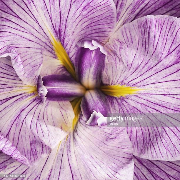 Louisiana iris (Iridaceae sp), detail