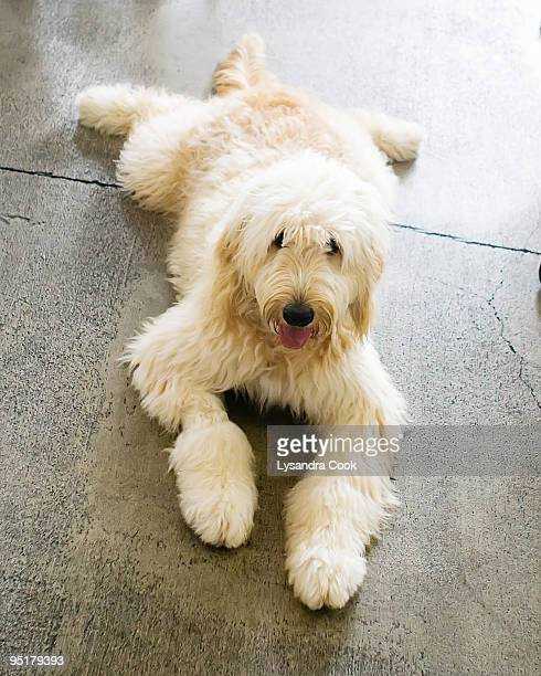 Lounging Labradoodle