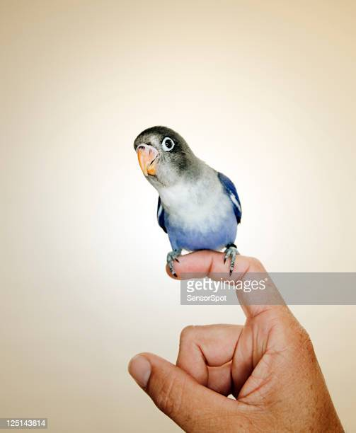 Oiseaux d'amour portrait