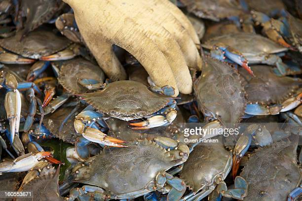 Love blue crabs for sale in a fish market