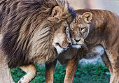 Lion and lioness showing love towards each other.