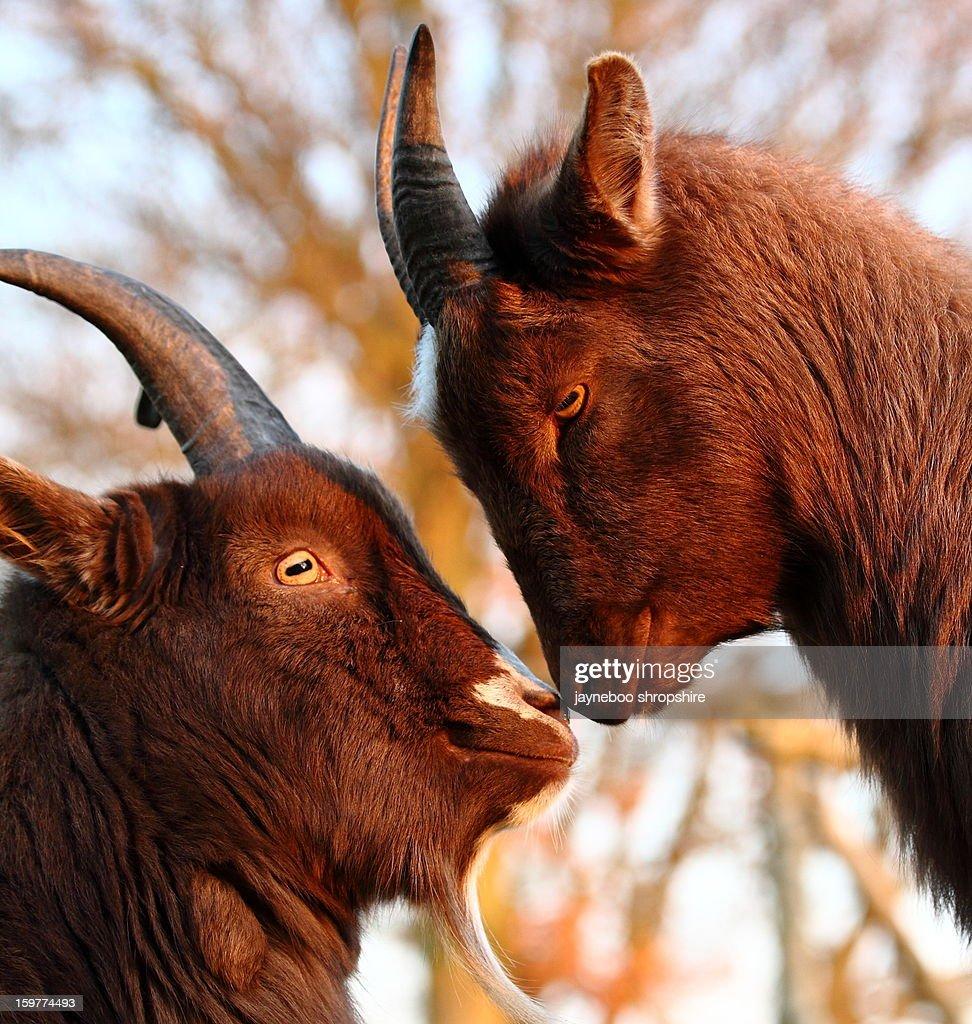 Love is 2 Pygmy Goats : Stock Photo