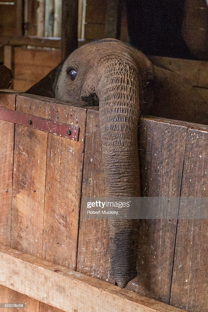 An orphaned African Elephant (Loxodontis africana) peers over his stable door in a Nairobi elephant orphanage.