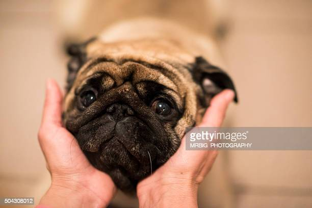 Female Hands holding dogs (Pug) head ....