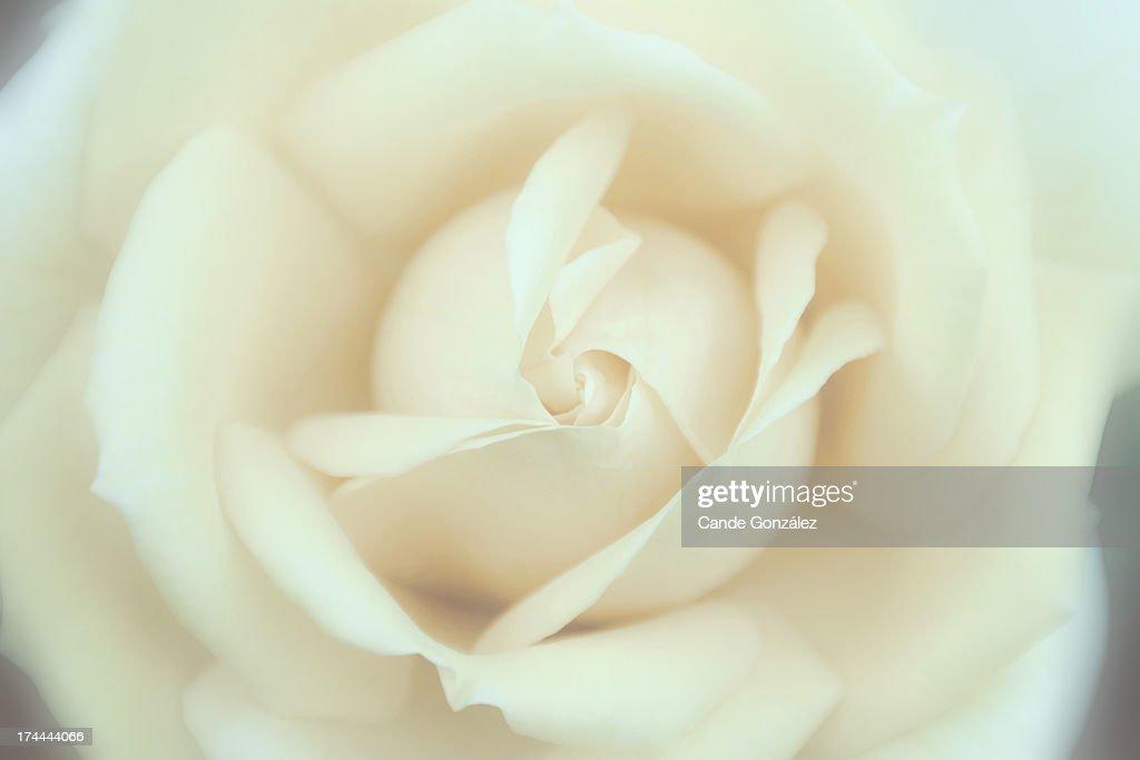 I love roses : Stock Photo