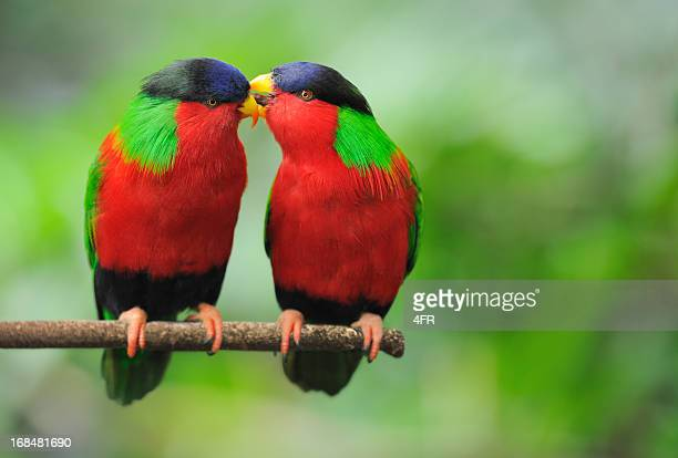 Love Talks - Parrots Whispering (XXL)
