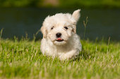 Love to run.. Havanese puppy of 7 weeks!