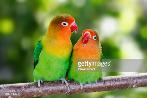 Lovebird parrots sitting together : Stock Photo