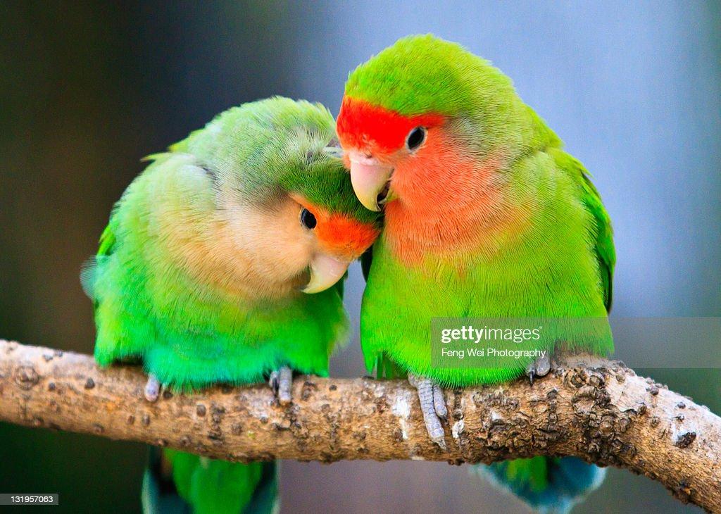 Lovebird perchec on tree branch