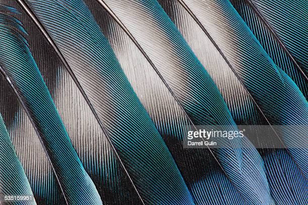 Lovebird Tail Feather Design