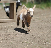 Lovely 13-day-old Baby Goat is running.