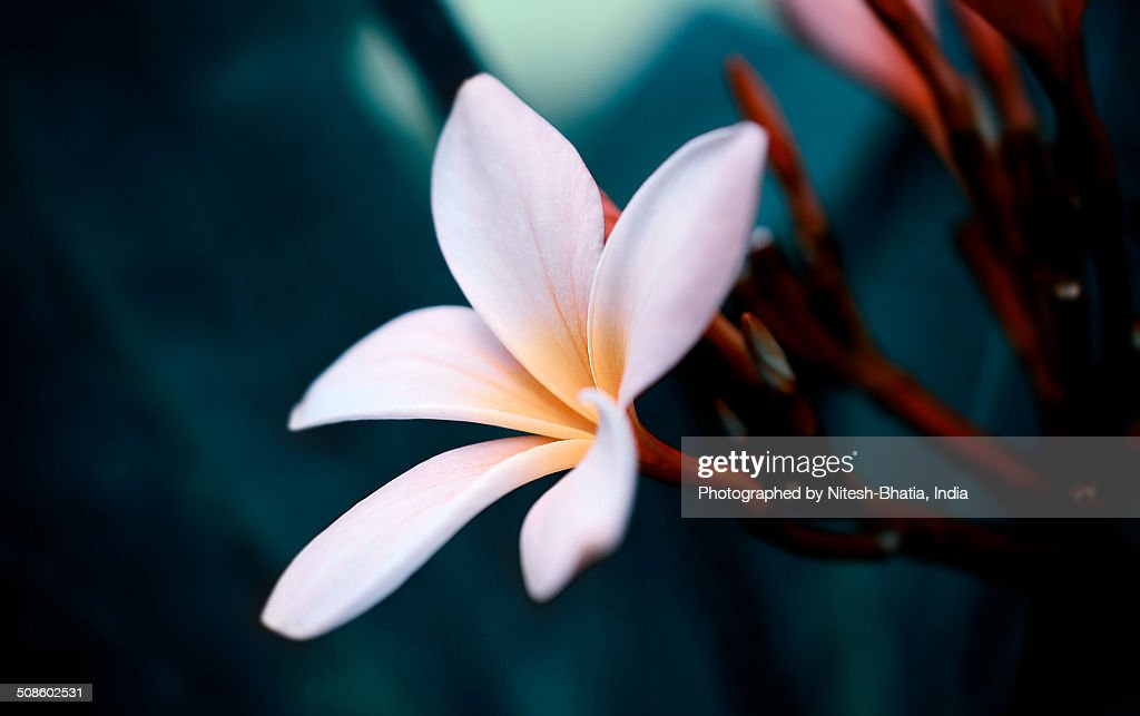 Lovely Balinese Flower : Foto de stock