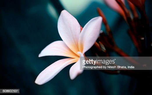 Lovely Balinese Flower : Foto de stock