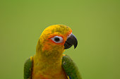 Lovely beautiful small parrot, Sun conure.