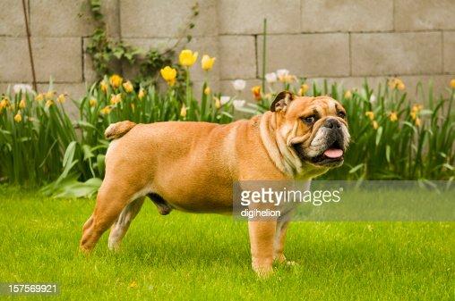 美しいブルドッグの緑の芝生