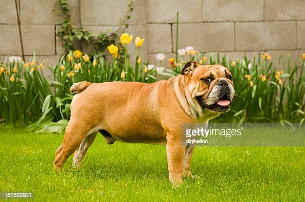 Lovely Bulldog on green lawn