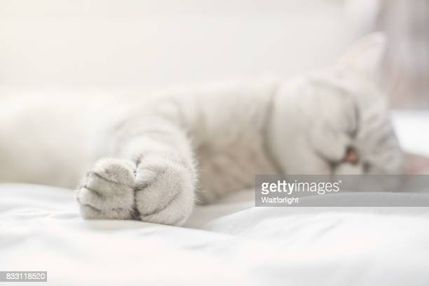 Lovely cat with gray-white hair on sleep