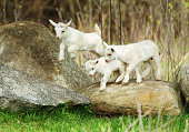 Lambs are playing at a farm