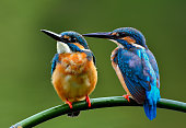 A lovely pair of Common kingfisher (Alcedo atthis) a beautiful blue bird perching on the branch together, fascinated nature