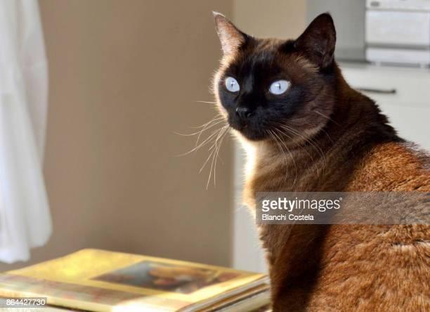 Lovely siamese cat