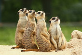 Group of four cute meerkats. They are sitting outdoors on the sand and they are looking in the same direction as one team.