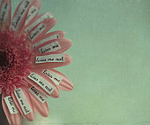 Loves me not notes on pink daisy