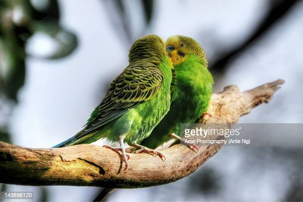 Loving Budgerigars