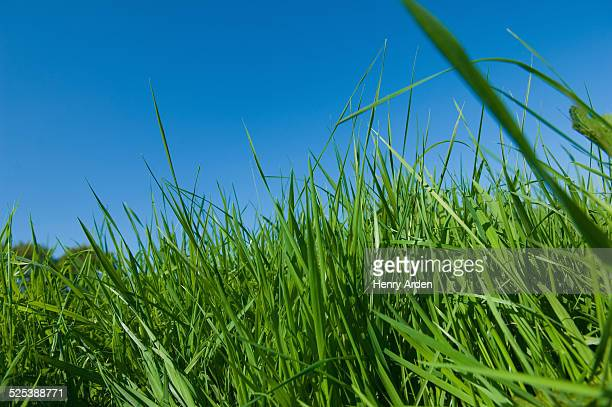 Low angle close up of green grass and blue sky