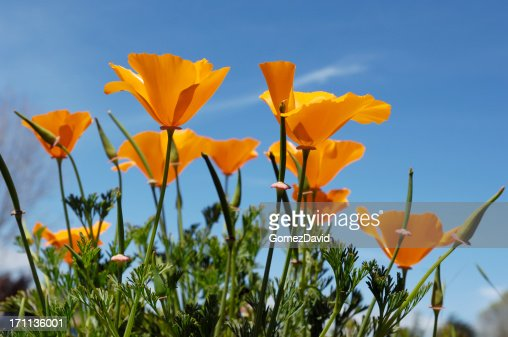 Low Angle Close-up of Blooming California Poppy Wildflowers