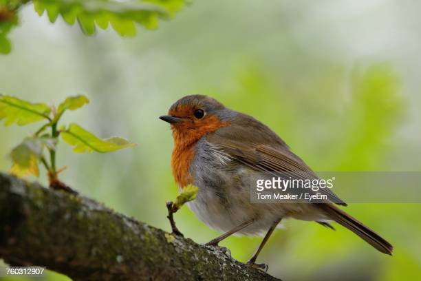Low Angle Close-Up Of Robin Perching On Branch