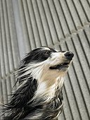 Low angle portrait of Afghan hound blown by the wind, copy space above, Alicante, Spain,