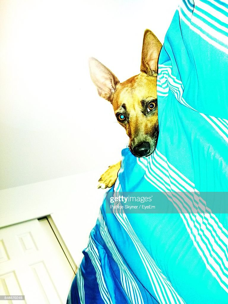 Low Angle Portrait Of Basenji Lying On Bed