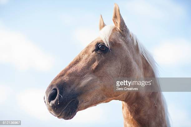 Low angle portrait of palomino horse