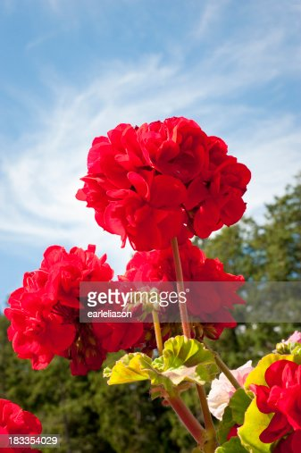 Low angle shot of red geranium flower