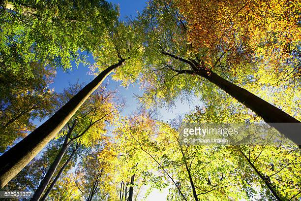 Low angle view of a beech forest in fall